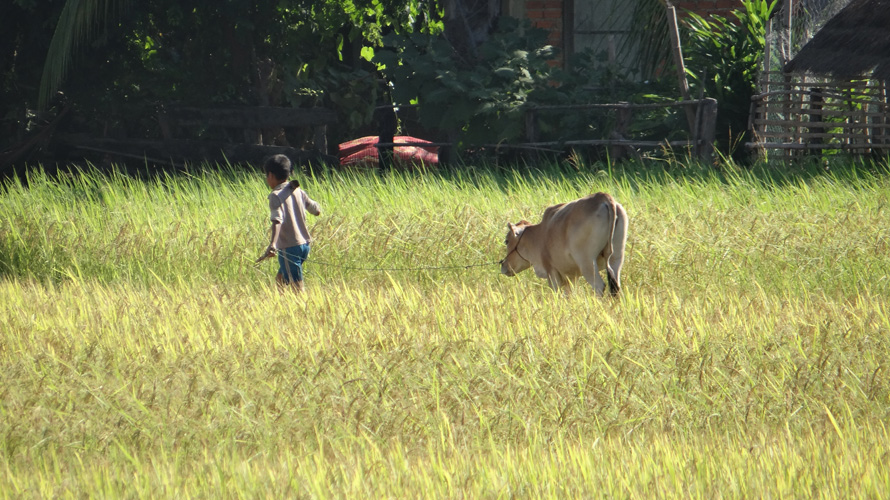 A young boy leading a cow.